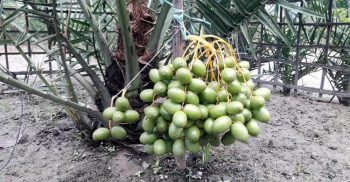 Sulaiman succeeds in cultivating Saudi dates in Shariatpur
