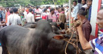 ঝিনাইদহেও গরুর মুল্য কম হওয়ায় মহা বিপাকে গরু খামারিরা